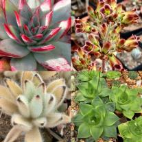 Kruisingen van Echeveria en soorten