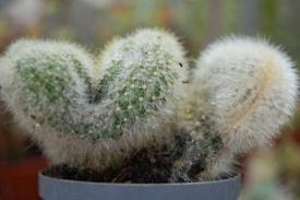 Stekken van Succulenten