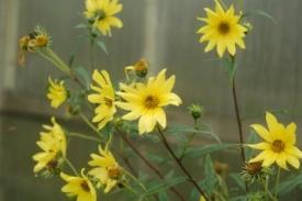 Vaste en eenjarige zonnebloemen