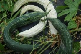 Komkommers en komkommerachtigten