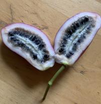 Stauntonia hexaphylla verse oogst 2019