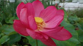 Nelumbo nucifera met rode bloem
