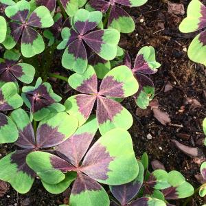 Oxalis cultivars