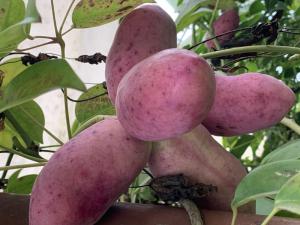 Stauntonia hexaphylla verse oogst