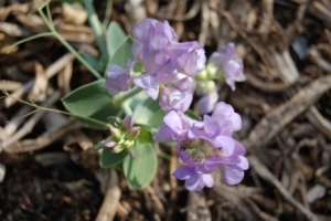 Lathyrus species and cultivars
